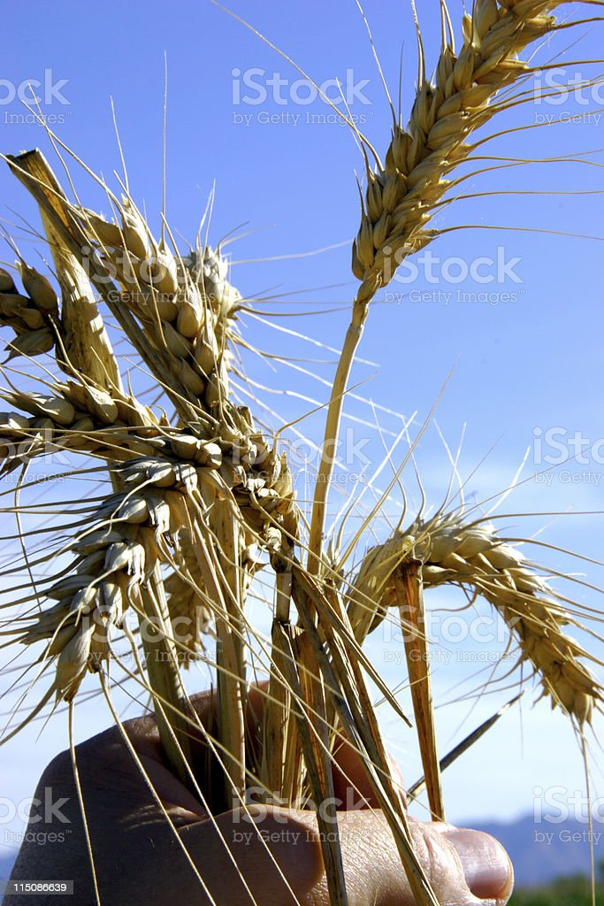 agriculture scenes - harvested grain royalty-free stock photo