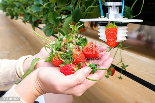 istock Agriculture technology , artificial intelligence concepts, Farmer use smart farm automation robot arm assistant image processing for harvest strawberry , replace worker and increase precision. 925164502
