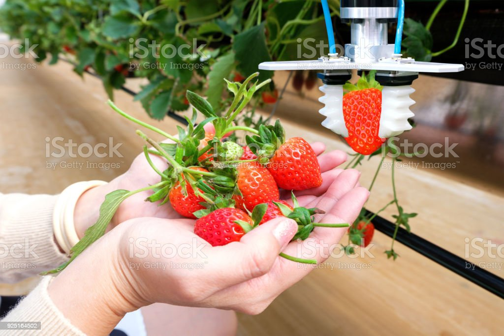 Agriculture technology , artificial intelligence concepts, Farmer use smart farm automation robot arm assistant image processing for harvest strawberry , replace worker and increase precision. stock photo