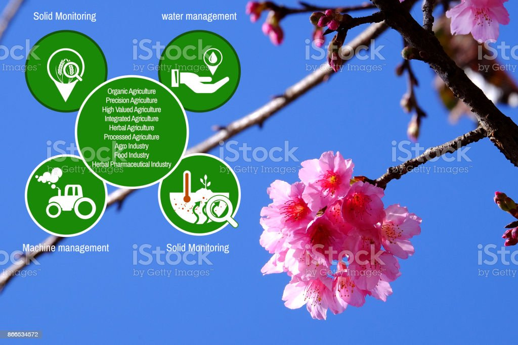 Agriculture Technology   concept Agritech system icons on Pink cherry blossom  blue sky  at angkhangstation chiang mai Thailand stock photo