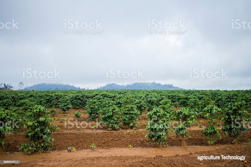 Agriculture Technology Young coffee plantation landscape stock photo