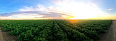 This is a panoramic photograph of a tomato farm in Central California