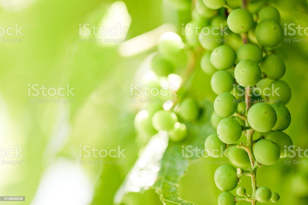 Agriculture: Vine And Grape stock photo