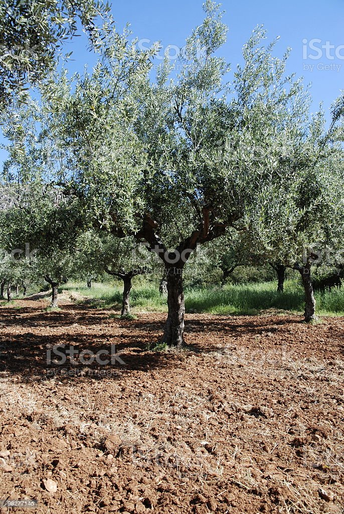 agriculture with field of olive trees royalty-free stock photo