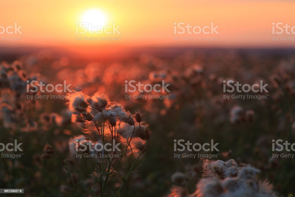 Agrimony and meadow flowers on a background of colorful sunset stock photo