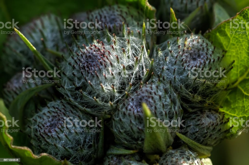 Agrimony. Field plant. stock photo