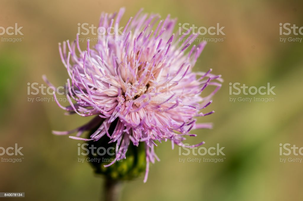 agrimony flower in blossom stock photo