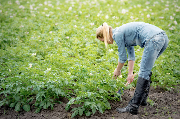agronomist caring for the growing crop stock photo