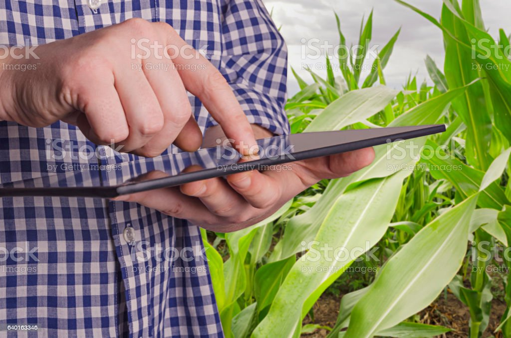 Agronomist examining crops before harvesting stock photo