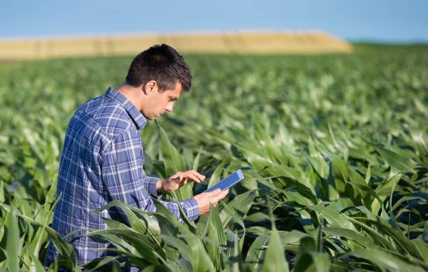 Agronomist squatting in corn field with tablet stock photo