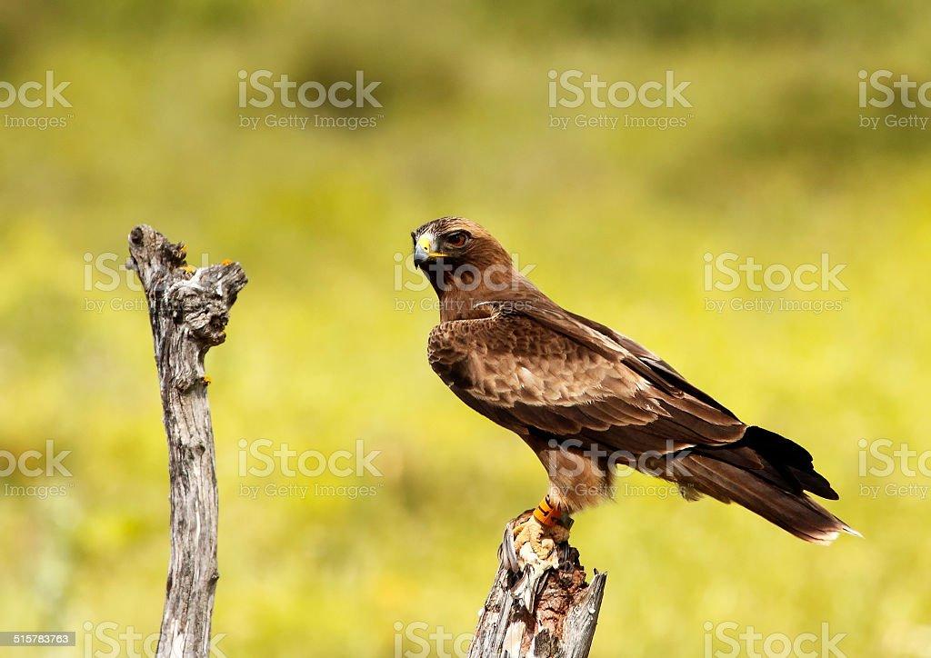 Aguila Calzada stock photo
