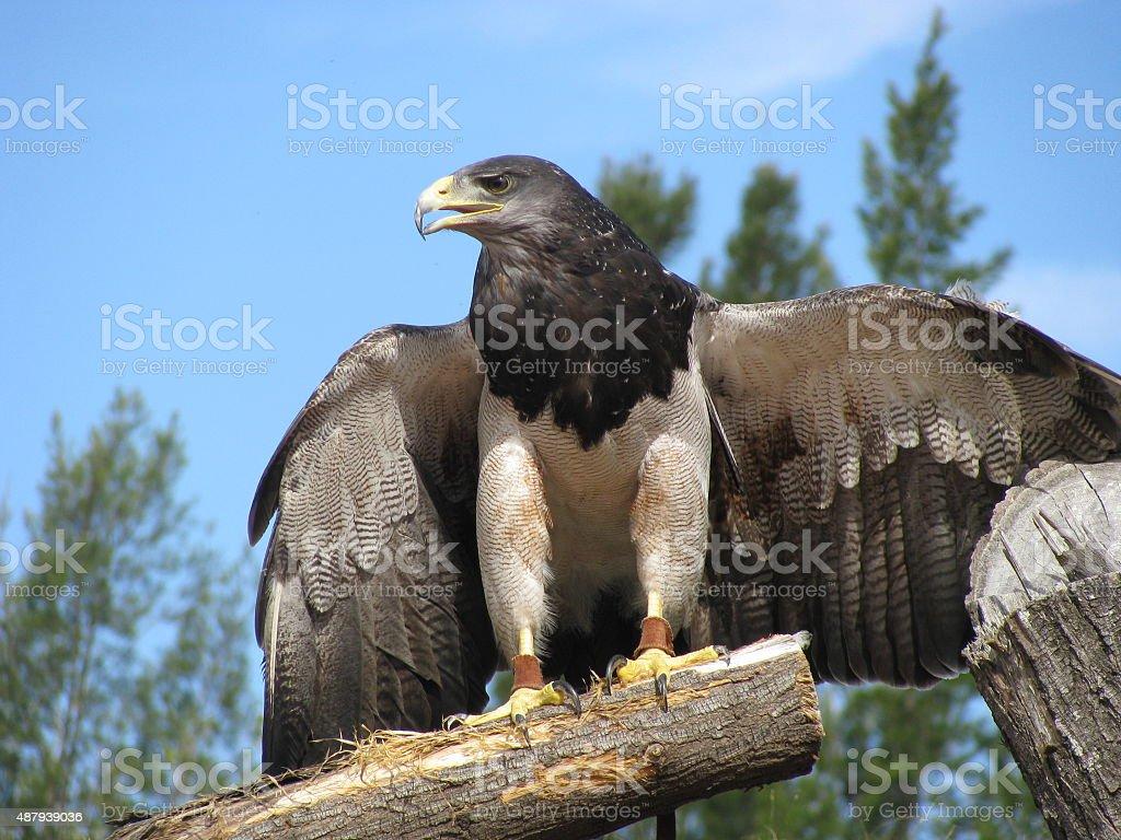 Aguila Mora - foto de acervo