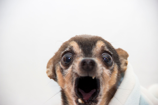 Chihuahua yelling in pain with mouth open all the way and eyes huge.