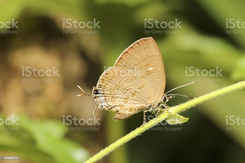 Sưu tập Bộ cánh vảy 3 - Page 19 Ahmetia-achaja-butterfly-picture-id494838273