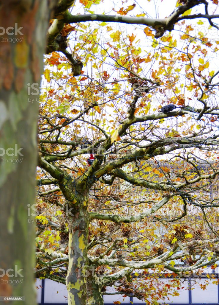 Ahornblättrige Platane stock photo