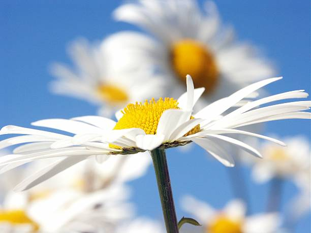 A aide view of a beautiful summer daisy stock photo
