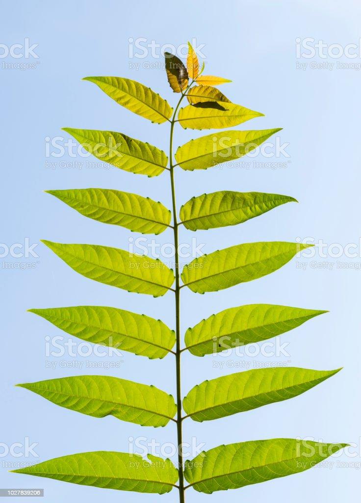 GГ¶tterbaum Altissima Blätter – Foto