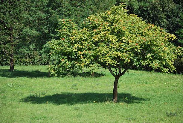 ailanthus altissima – Foto