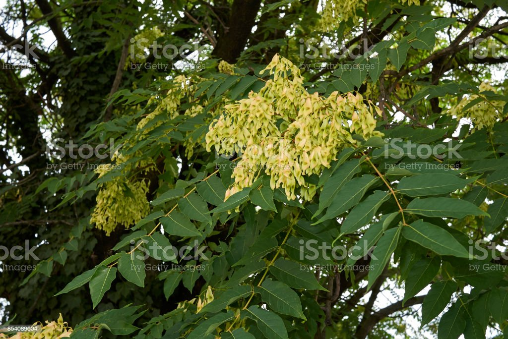 Götterbäume altissima – Foto