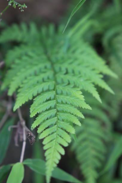 GГ¶tterbaum Altissima Baum auch bekannt als Glandulous-leaved Ailante Zweig zeigt Nahaufnahme der Blätter – Foto
