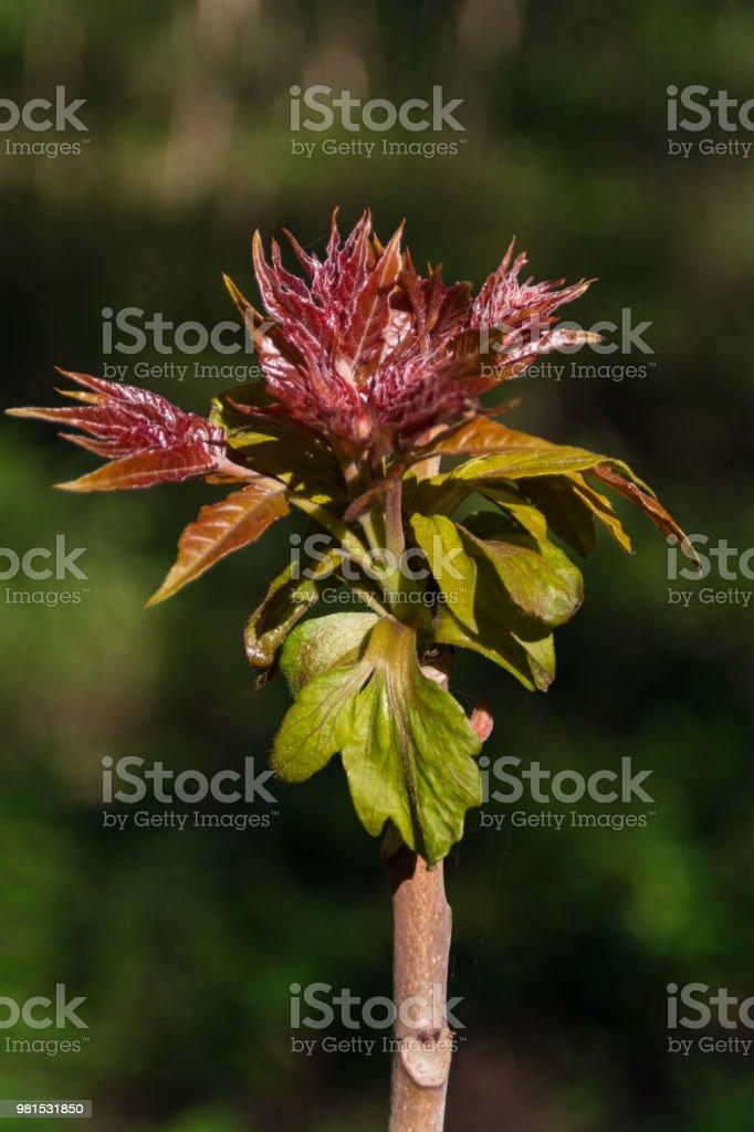 GГ¶tterbaum Altissima - Baum des Himmels sprießen – Foto