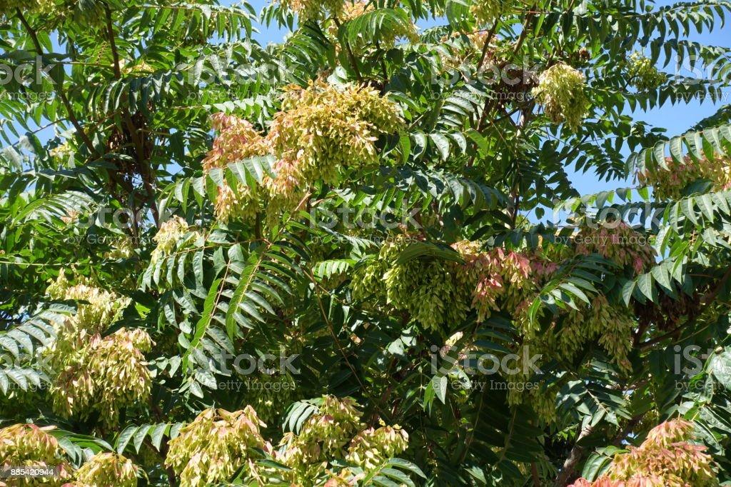 GГ¶tterbaum Altissima Baum mit Samen im august – Foto