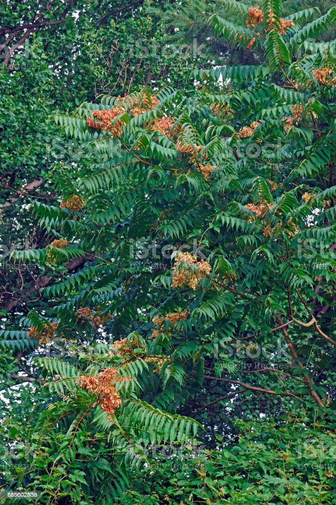 GГ¶tterbaum Baum mit Früchten – Foto