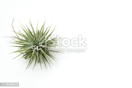 Pictured air plant in a white background.