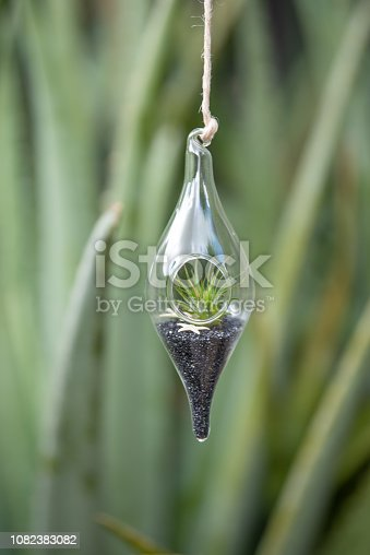 Air plant in tear drop terrarium with with black and white pebbles hanging in garden on an aloe plant