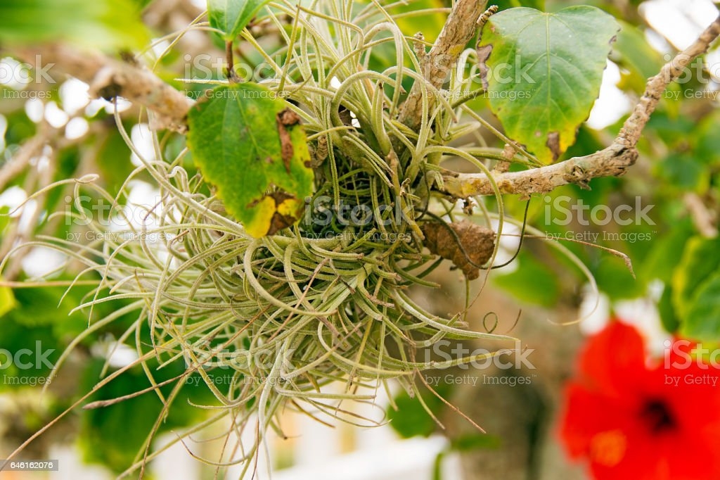 air plant on hibiscus tree stock photo