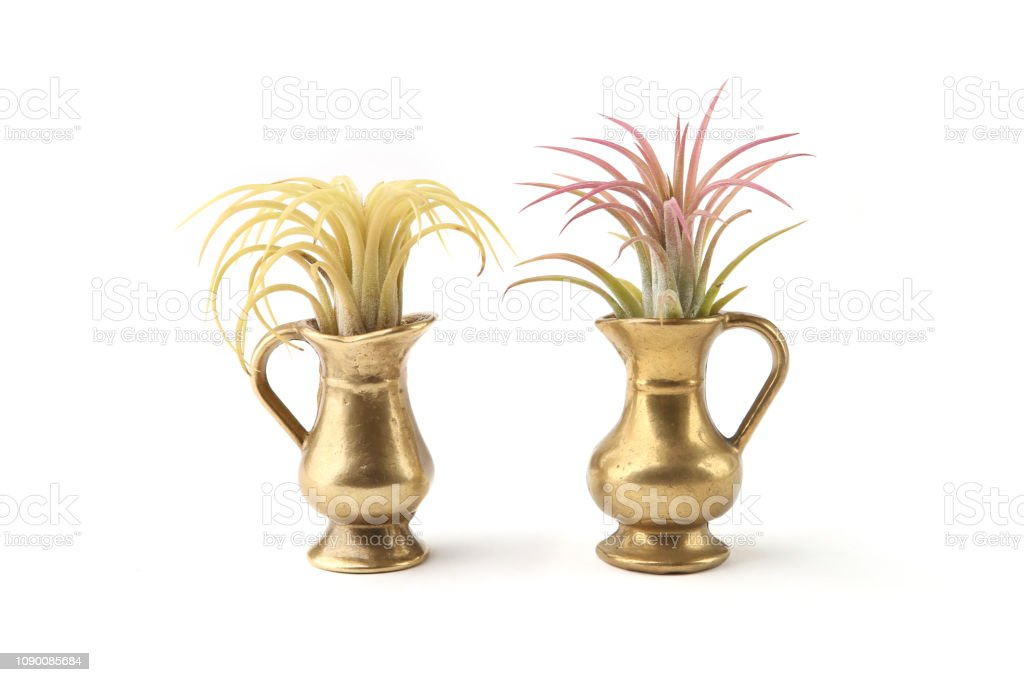 Air plant, Tillandsia ionantha, houseplant succulent in small jug isolated on white background.