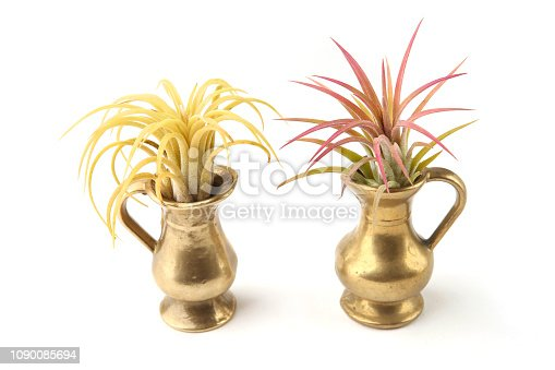 istock Air plant, Tillandsia ionantha, houseplant succulent in small jug isolated on white background. 1090085694