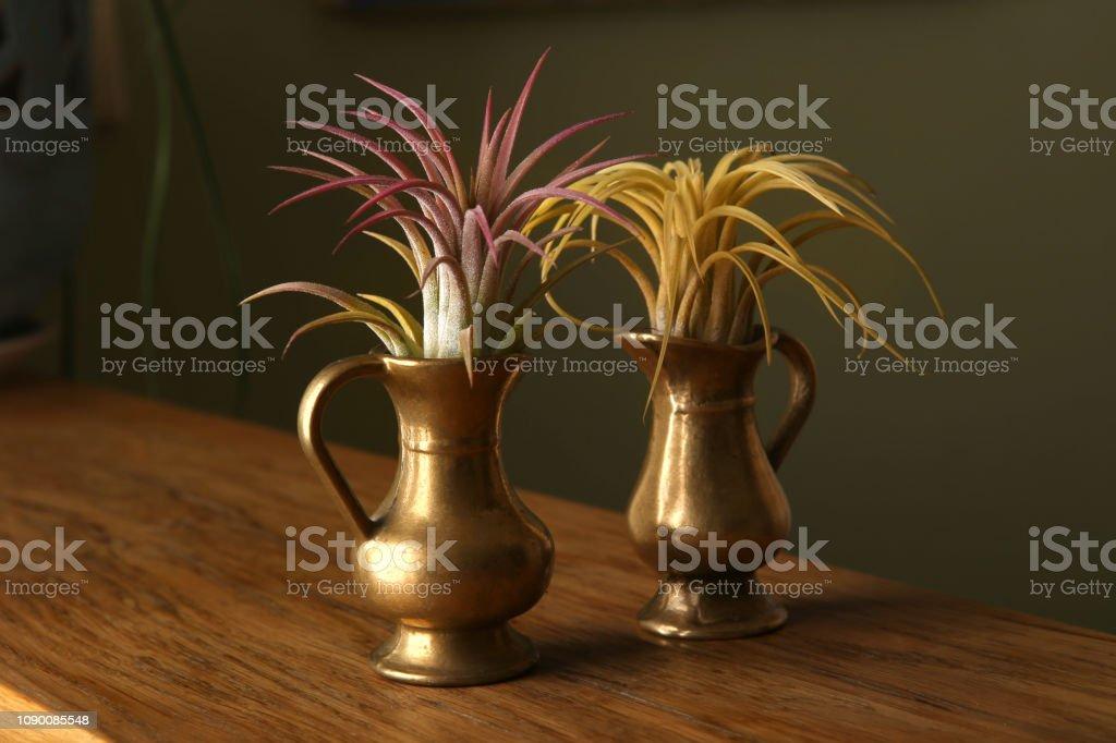 Air plant, Tillandsia ionantha, houseplant succulent in small jug.