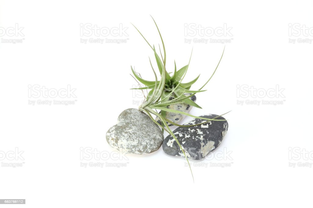 Air plants and stone in a white background