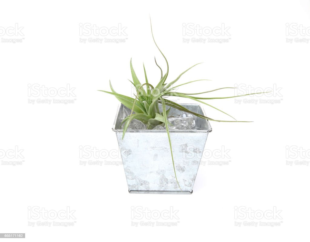Air plants in a white background