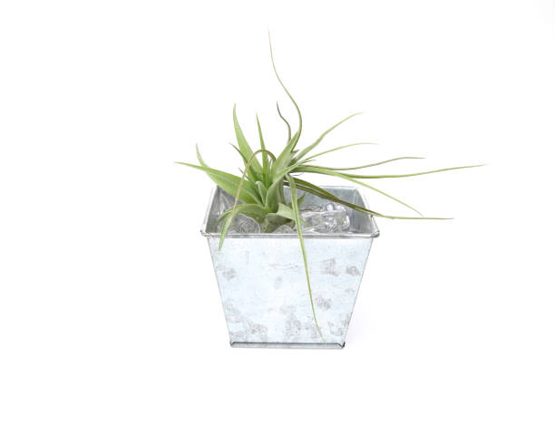 royalty free air plant pictures images and stock photos istock. Black Bedroom Furniture Sets. Home Design Ideas