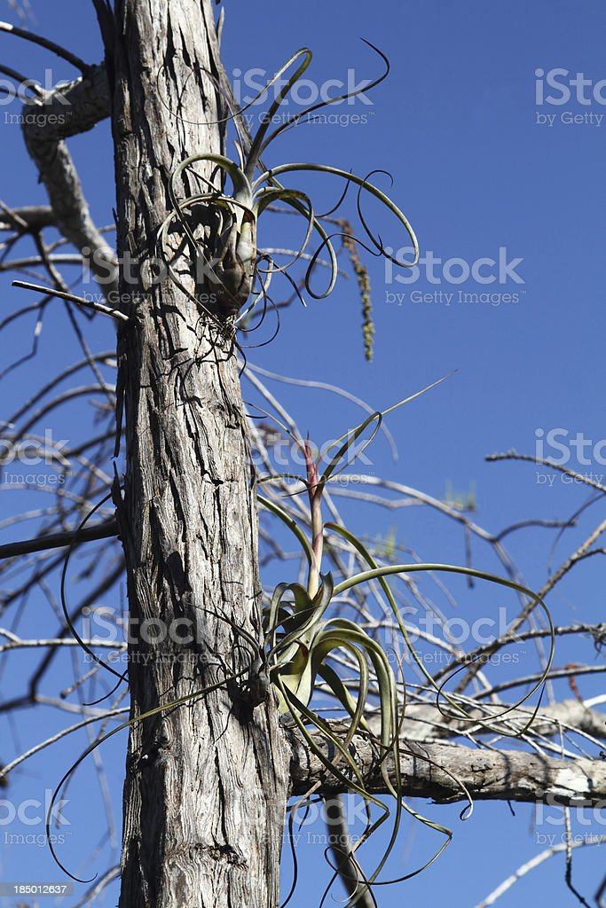 Air plants on cypress tree in wetlands stock photo