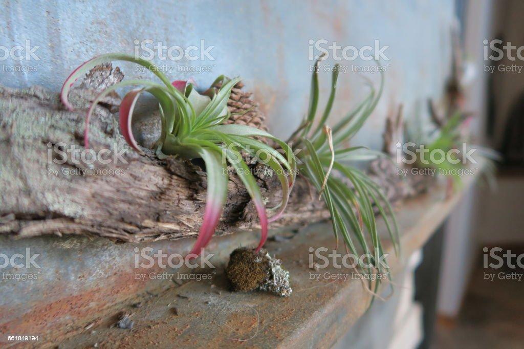 Air Plants on Metal Wall