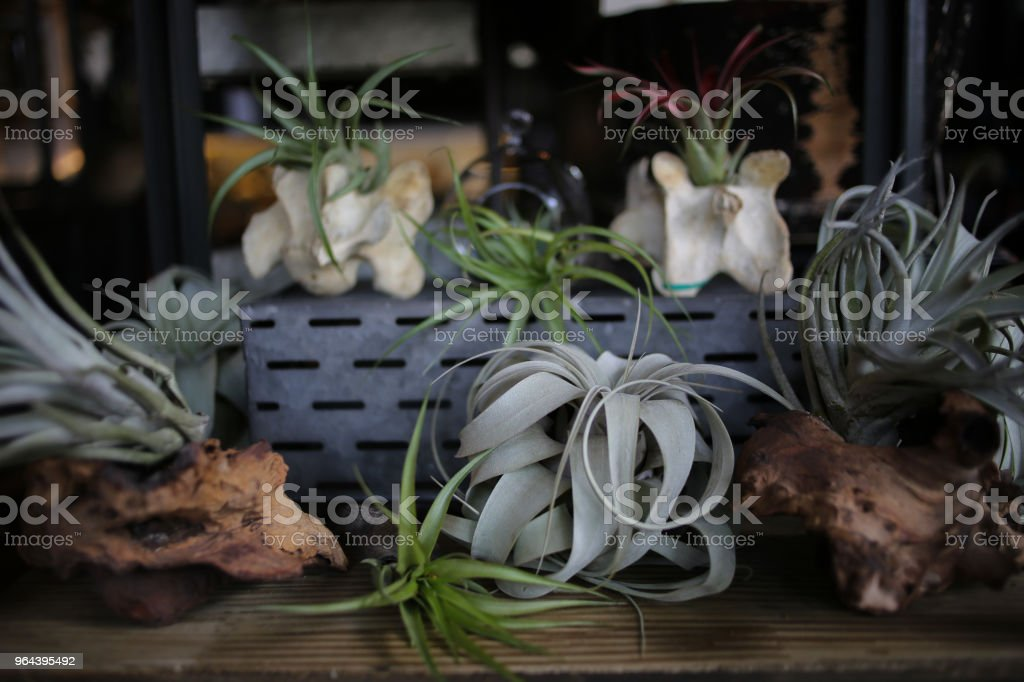 Air plants Planted in Animal Vertebrate Bones and Pieces of Driftwood