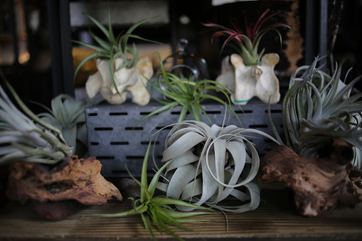 istock Air plants Planted in Animal Vertebrate Bones and Pieces of Driftwood 964395492