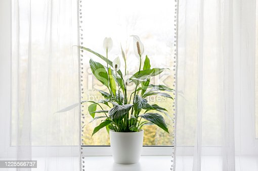 istock Air puryfing house plants in home concept. Spathiphyllum are commonly known as spath or peace lilies growing in pot in home room and cleaning indoor air. 1225566737