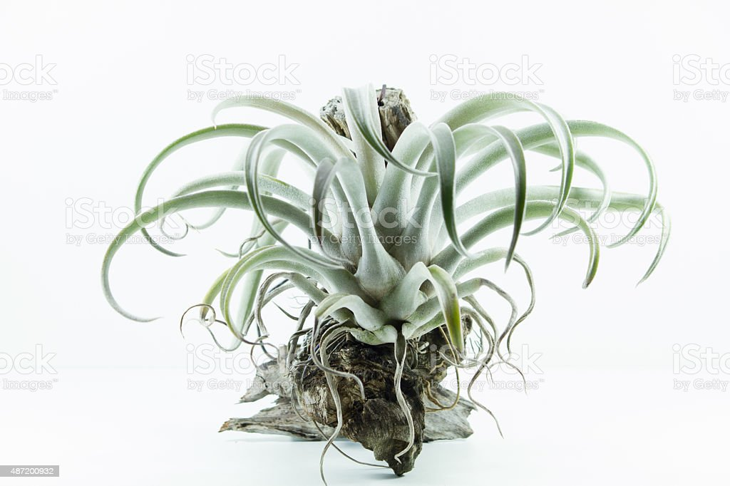 Air Wurzel Plant Tillandsia Chiapensis Auf Weißem Hintergrund Stock ...
