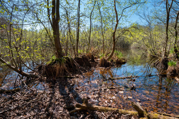 Air roots of submerged trees on the shores of a lake stock photo