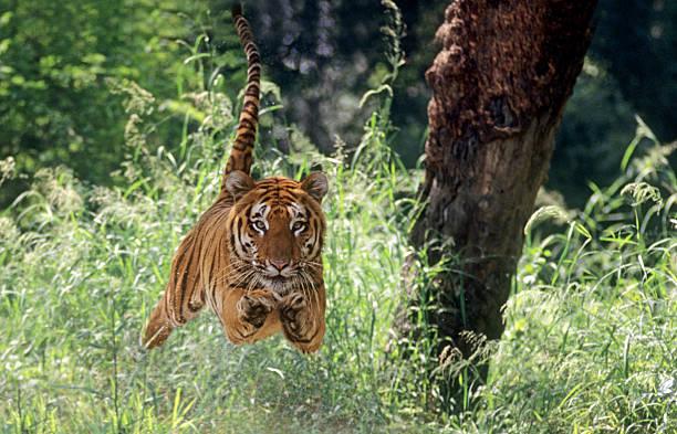 Airborne tiger picture id157163730?b=1&k=6&m=157163730&s=612x612&w=0&h= oprw6cuwozzqbhfr5f4bxqcuvpfo3tyxsw  il nmc=