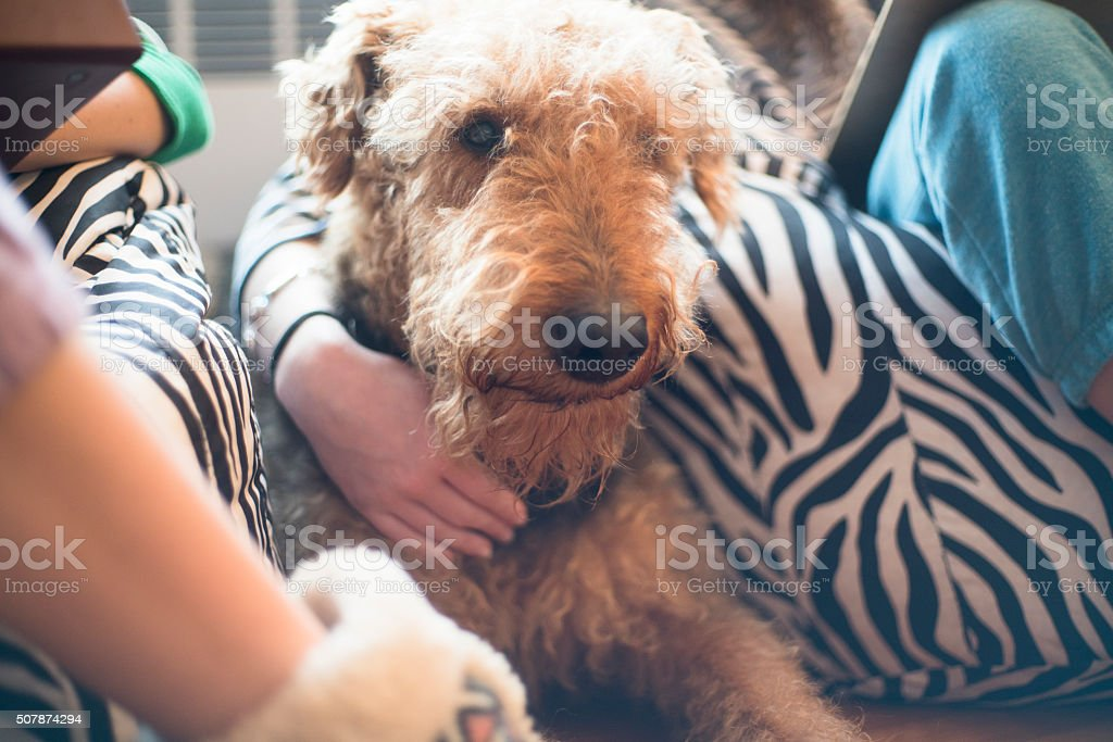 Airdale terrier dog lies next to teenager girl stock photo