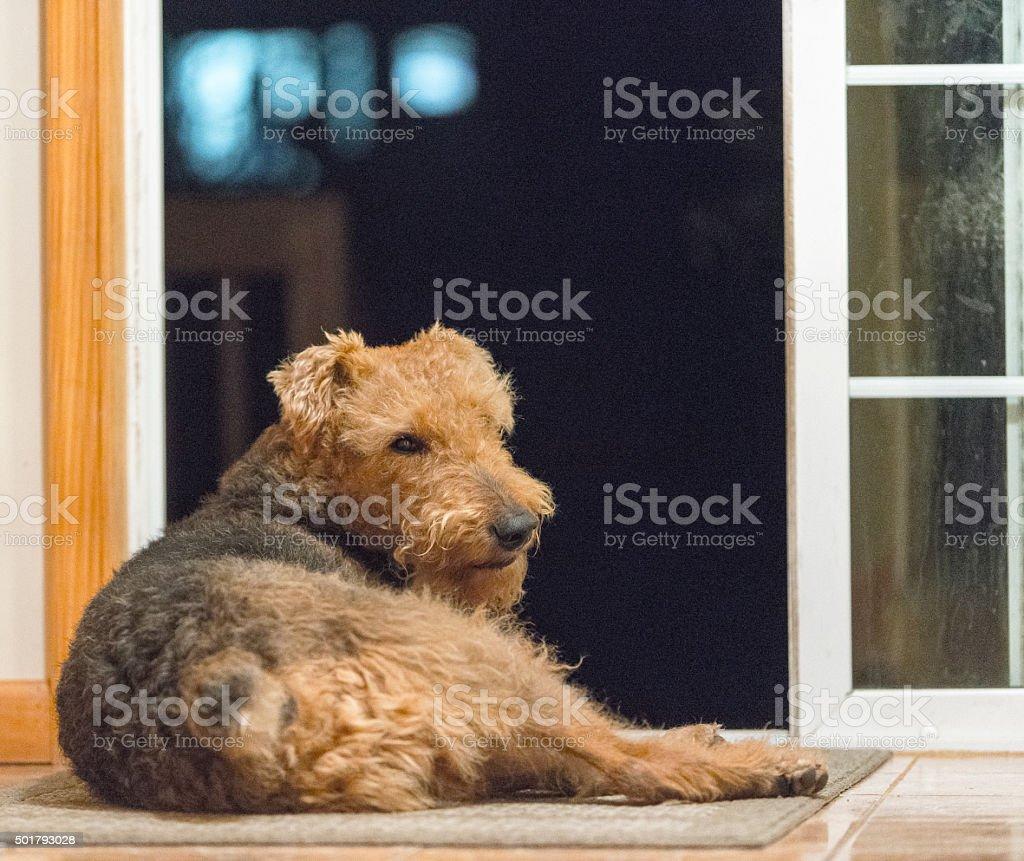 Airdale terrier dog lies on the floor next to door stock photo