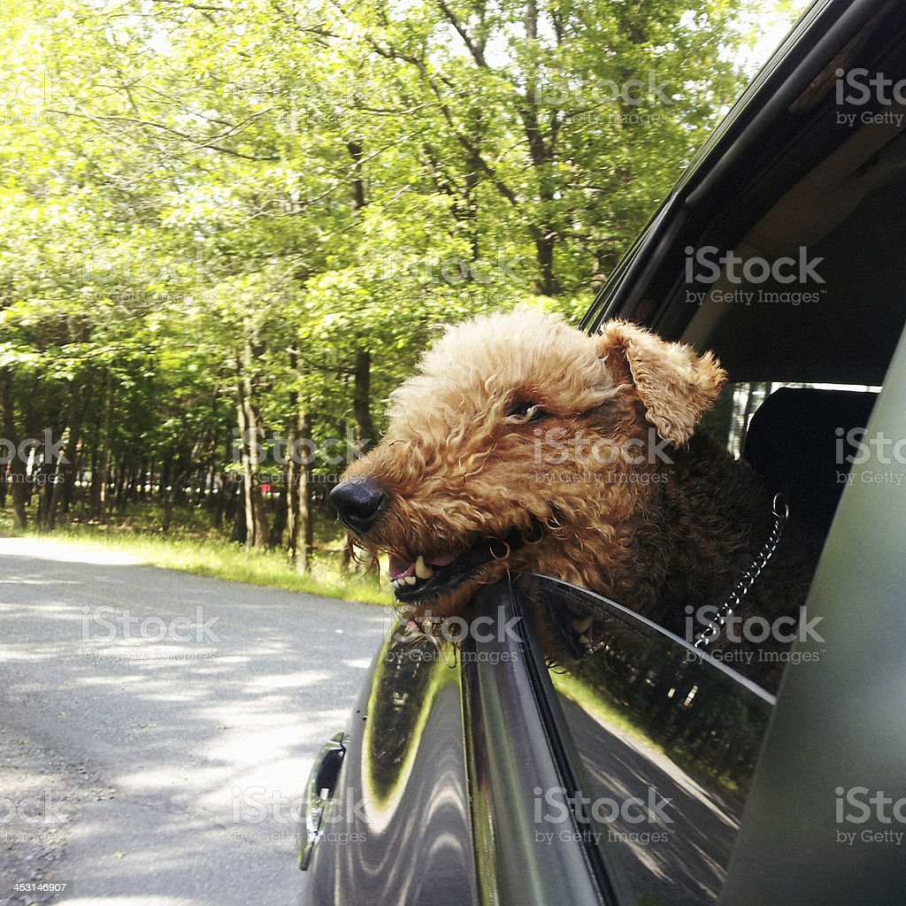 Airdale terrier looking through  car wondow on the speed stock photo