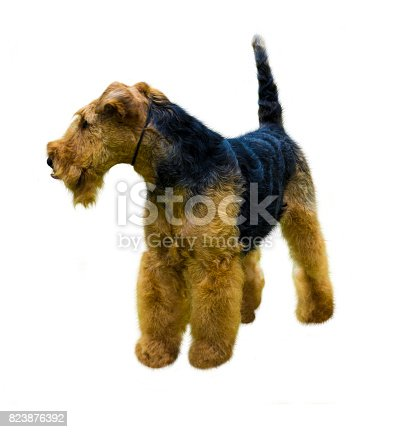 istock Airedale Terrier dog.  Airedale Terrier isolated on white background 823876392