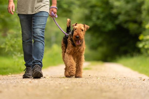 Airedale Terrier. Hundeführer spaziert mit seiner gehorsamen Hund auf der Straße in einem Wald. – Foto