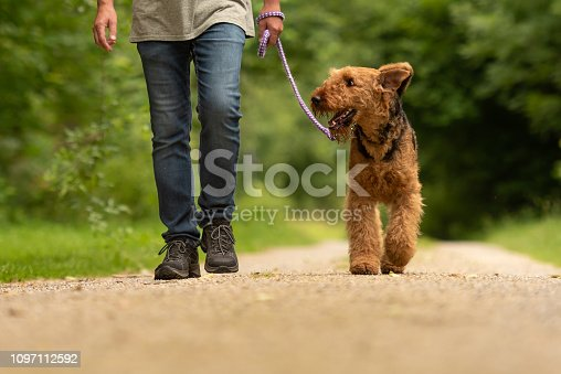 Airedale Terrier. Dog handler is walking with his obedient dog on a rural street in a forest.